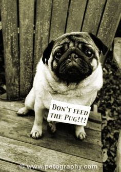 do not feed the pug!