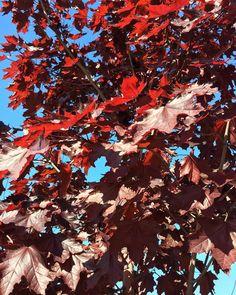 Вот это клены!) какой цвет) #trees #vrn #vrnlife #artistday #color #red #redtrees