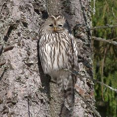 Ural owl by JM by Pinelope, via Flickr #owl