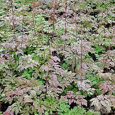 Cimicifuga simplex 'Atropurpurea' - planted along the garage wall under Kousa
