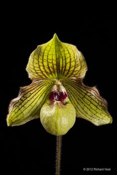 Paphiopedilum Jade Dragon 'Memoria Roger June' AM/AOS, by rocketrick1949, via Flickr
