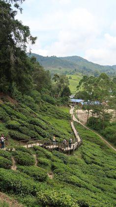 Campos de chá da Malásia, Cameron Highlands | Viaje Comigo Malaysia Truly Asia, Cameron Highlands, Kuala Lumpur, River, Nature, Outdoor, Fields, Traveling, Outdoors