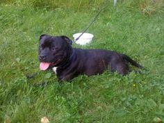 Staffordshire Bull Terrier #79 - Staffordshire Bull Terrier AKC Popularity - 2015: 79 AKC Popularity - 2014: 79 Average Life Expectancy: 13 years Puppy Price: $1,500 Breed Group: Terrier Nickname(s): Staffy, Staff, SBT, Stafford, Staffy Bull
