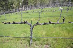 trellising grapes at home   Trellis Trained and Pruned Syrah. 4-6 spurs on each side, evenly ...