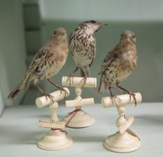 Tiny birds - antique taxidermy.