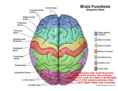 brain diagram labeled with functions – Anatomy facts Brain Anatomy, Medical Anatomy, Anatomy And Physiology, Brain Lobes, Nervous System Anatomy, Brain Diagram, Nursing School Notes, Brain Based Learning, Brain System