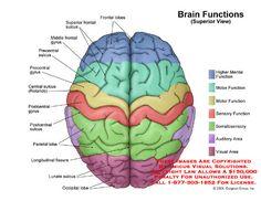 brain functional areas - Recherche Google