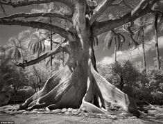 US photographer Beth Moon usually spends a day or two to photograph each tree to ensure that the lighting conditions are perfect. Above, a kapok tree (Ceiba pentandra) in Palm Beach, Florida