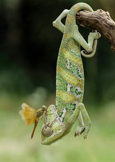 Different Types of Chameleons amphibians √ 5 Different Types of Chameleons Nature Animals, Animals And Pets, Funny Animals, Cute Animals, Animals Images, Veiled Chameleon, Chameleon Lizard, Baby Chameleon, Reptiles Et Amphibiens