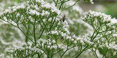 Macskagyökér (Valeriana officinalis) - Természet Patikája Egyesület