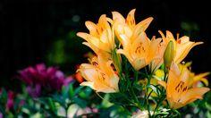 #lily #flower #flowers #ig_flowers #superb_flowers #FlowerStalking #wp_flower #floral_splash #igscflowers #百合
