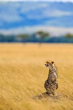 i was lucky enough to have a cheetah encounter..... a stunning cat....