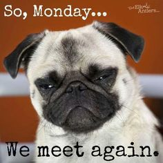 We Meet Again monday monday quotes funny monday quotes monday pictures monday images 9gag Funny, Funny Monday Memes, Funny Good Morning Memes, Funny Dog Memes, Funny Animal Memes, Funny Animals, Funny Quotes, Pug Quotes, Memes Humor
