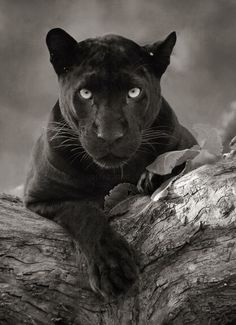 A black panther is not a species in its own right; the name black panther is an umbrella term that refers to any big cat with a black coat. Panther Tattoos, Black Panther Tattoo, Black Animals, Cute Animals, Wild Animals, Black Panther Cat, Black Cats, Pantera Band, Most Endangered Animals
