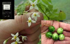 Tzimbalo African Pepino Solanum Caripense Seeds