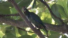 Avistan cotorra puertorriqueña en la Reserva Natural Las Cabezas de San Juan. Foto Paralanaturaleza.org