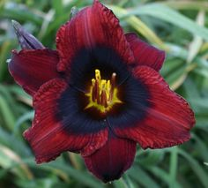 Daylilies for sale, Hemerocallis hybridized by James Gossard of Heavenly Gardens in Columbus, Ohio. Beautiful Rose Flowers, Exotic Flowers, Amazing Flowers, Blue Flowers, Yellow Roses, Pink Roses, Daylily Garden, Hibiscus Plant, Asiatic Lilies