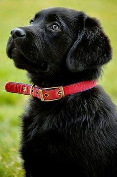 Lab Retriever pup