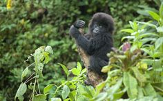 Gorilla Doctors: saving endangered mountain gorillas in Africa. A young wild gorilla clings on to a tree in the Virunga mountains in Congo  Picture: Molly Feltner/Gorilla Doctors/Barcroft Media