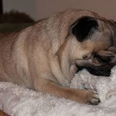 I suck my blanket every night before I go to sleep 😂😴🌃 #mauricethepug #ilovemyblanket #ilovetosleep #sleepy #goodnight #sweetdreams #banket #dreams #goodsleep #pug #mops #dog #puglife #puppy