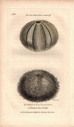 Echinus Esculentus or Common Sea Urchin 1809 Original Engraving Shaw Print