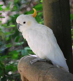 Sulphur-crested Cockatoo   #cutebird