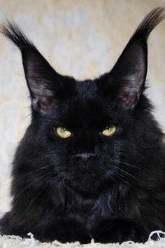 Can a Maine Coon be black? I think this photo gives the answer… click the phot… Kann ein Maine Coon schwarz sein? Pretty Cats, Beautiful Cats, Animals Beautiful, Cute Animals, Black Animals, Animals Images, I Love Cats, Cool Cats, Kittens Cutest
