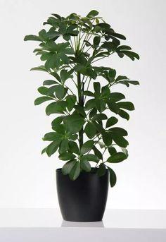 A sugárarália (Schefflera arboricola) gondozása - CityGreen. House Plant Care, Plant Decor, Houseplants, Sweet Home, Flowers, Nature, Gardening, Plant, Naturaleza