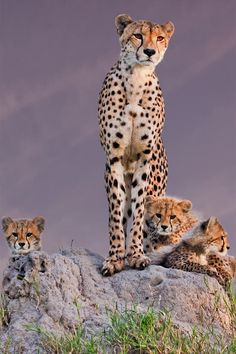 Cheetah Family and mum is on the look-out!