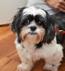 32 Best Rescue Shih Tzu Images On Pinterest Adoption Foster Care