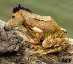 Horse Frog.