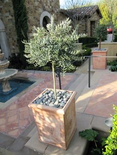 Dwarf Olive Tree in square ceramic pots - like the stones...