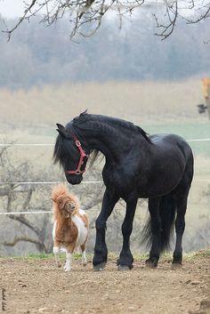 Friends! Friesian and mini, Pauli & Daen by Hendrik Schulz**