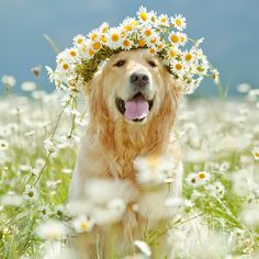 Golden retriever puppy dog in a daisy flower crown Animals And Pets, Baby Animals, Funny Animals, Cute Animals, Spring Animals, Cute Puppies, Cute Dogs, Tier Fotos, I Love Dogs