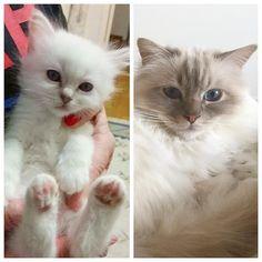 Time flies. Poppy as kitten (6 weeks) and as adult (2 years) Still my Prince Charming #popcorn #poppylove #birma #birman #breeder #catsofinstagram #chokladochvanilj #pinkalicious #welovecats #we_love_cats #bestcats_oftheworld #excellent_cats #birmavanner #birman_feature