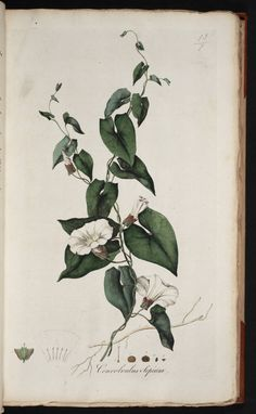 Curtis, William, 1775, Flora Londinensis, v.1. Plate 13/1 (pencil number in upper right hand corner)