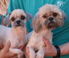 Bonnie & Clyde are young, very gentle Shih-Tzus who are bonded for life.  A Las Vegas woman found them after someone abandoned them in her backyard with no sign of responsible ownership (no ID tags, no microchip ID, not spayed/neutered).  Bonnie & Clyde are 1 year of age, now spayed/neutered & micro-chipped and groomed, and debuting for adoption today at Nevada SPCA (www.nevadaspca.org).  They like other dogs and we believe a calm home environment is ideal for them.