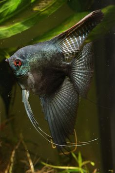 Pinoy Angelfish