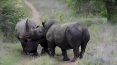 cogida rinocerontes