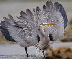 Funny Wildlife — peregrineinastoop: Great Blue Heron by Nigel on. Pretty Birds, Love Birds, Beautiful Birds, Exotic Birds, Colorful Birds, Ardea Cinerea, Grey Heron, Shorebirds, Tier Fotos
