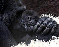 Gorillas...