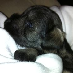 Miniature schnauzer puppy...my little Heidi has the prettiest puppies!