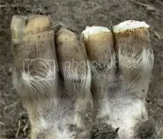 Trimming Goats Hooves.....Photo Story. - lifestyleblock discussion forums - LSB Trimming Goat Hooves, Mini Farm, Photo Story, Goats, Goat