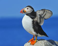 Travel with Audubon to the seabird capital of North America: Newfoundland & Labrador