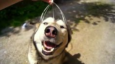 Head-Massaged Husky is the Happiest Dog You'll Ever See