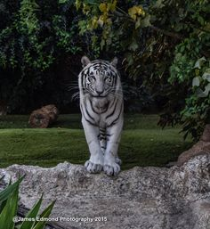 Nature, White Tiger, White Tiger Wall Decor, White Tiger Art, Tiger Photography, Big Cat, Wild Animal Fine Art Photography, Wild Cat