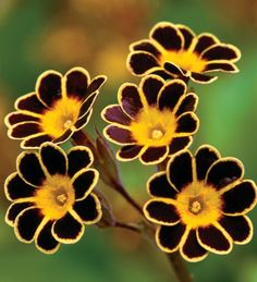 """Polyanthus """"Gold Laced"""""""