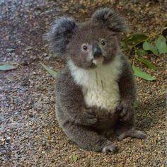 Precioso koala