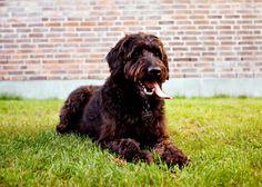 Labradoodle is a popular crossbreed, mixing the exuberant, hardy Lab with the stable, even-tempered Poodle. At his best, this is a smart, affable and moderately active dog who can excel in obedience, agility and being your best buddy. His size can vary depending on whether his Poodle genes are toy, miniature of standard.