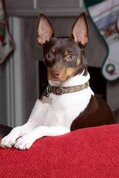 Rat Terrier Dog Breed Picture